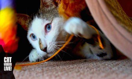 Cat Videos Go Live